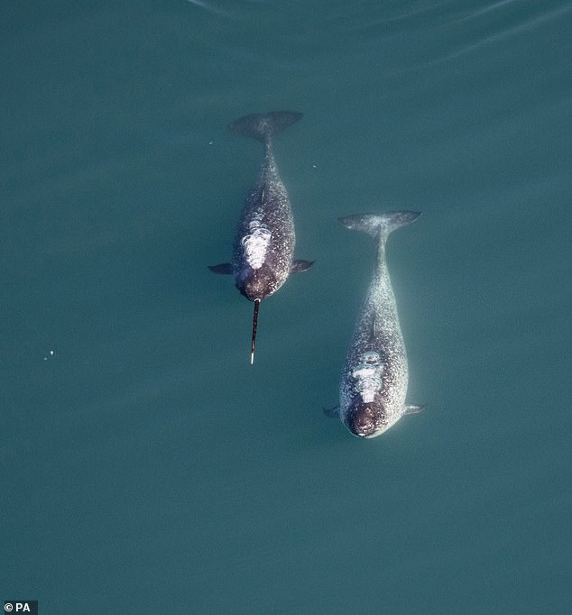 Researchers studied 245 adult male narwhals and found the largest of the so-called 'unicorns of the sea' had disproportionately long tusks