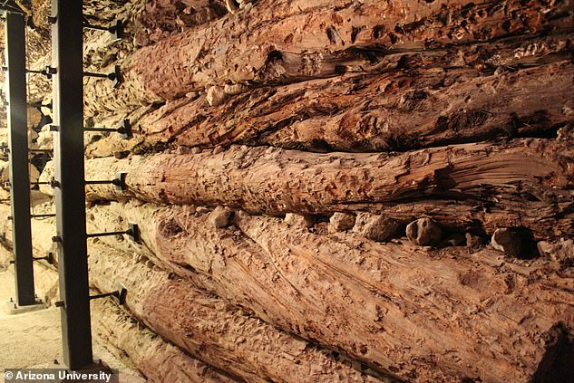The eruption and its exact timing was discovered by studying the growth rings of pine trees from America that were alive at the time