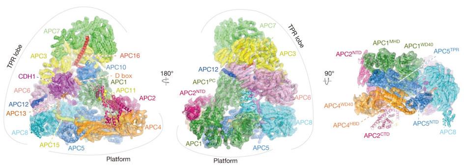 APC.C complex