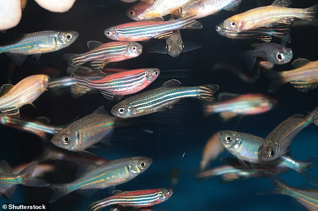 But around 70 per cent of human genes are found in zebrafish, according to scientists, which makes them well suited as lab models
