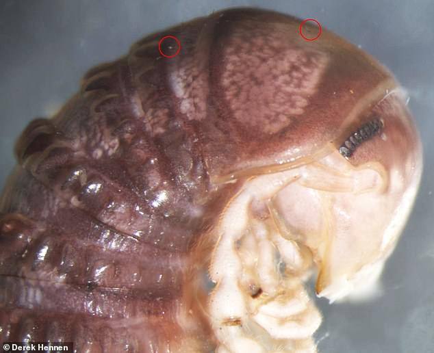 Biologists spotted an image of a millipede while scrolling through Twitter and noticed a few tiny dots near the creature's head – something that has never been seen on the American millipedes