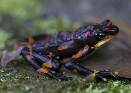 The Harlequin frog is one of many land vertebrate species facing extinction. (Credits: PA)