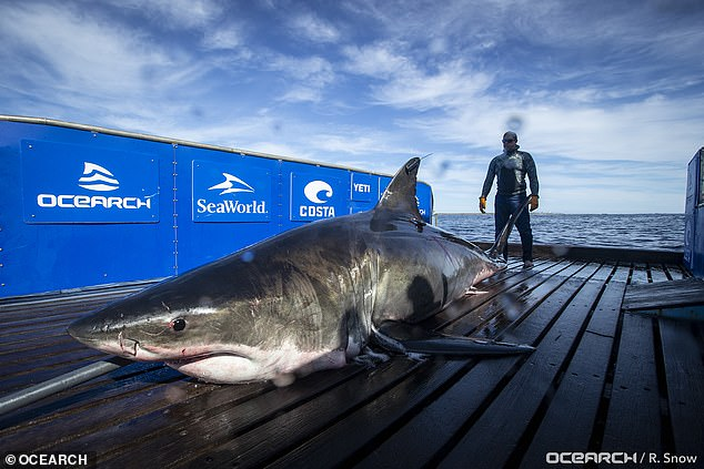 Unama'ki's name comes from Nova Scotia's indigenous Mi'kmaq people's name for Cape Breton Island, 'land of the fog.' And she was tagged by the northwest Atlantic by OCEARCH, a non-profit team of scientists, which hauled her out of the water in September (pictured)