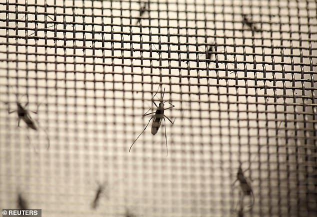 Developed by the British biotech firm Oxitec, the mosquitos contain a protein that lowers the chances of survival for female offspring, which could lead to a gradual decline in overall mosquito populations and reduce the spread of mosquito-born diseases