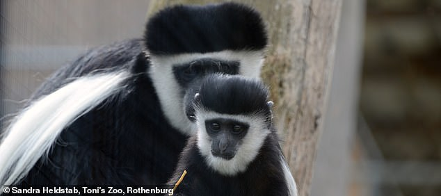 Like these mantled guerezas, all primate species learn their respective manual skills in exactly the same order