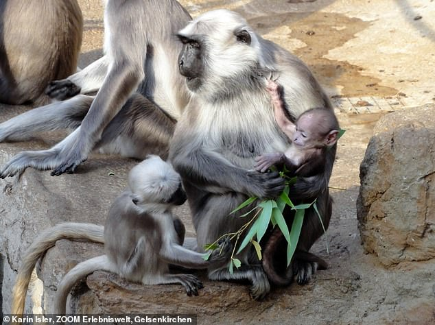 Parents have to invest a lot of time and energy until their offspring are independent - like this hanuman langur mother with her offspring