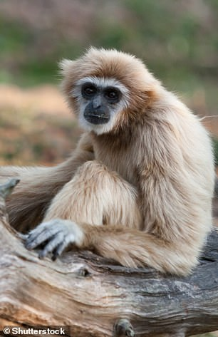 A pileated gibbon or capped gibbon, which has a distribution around Asia