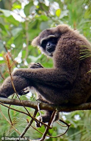 Javan gibbon can only be found in Javan mountain forest on the Indonesian island of Java