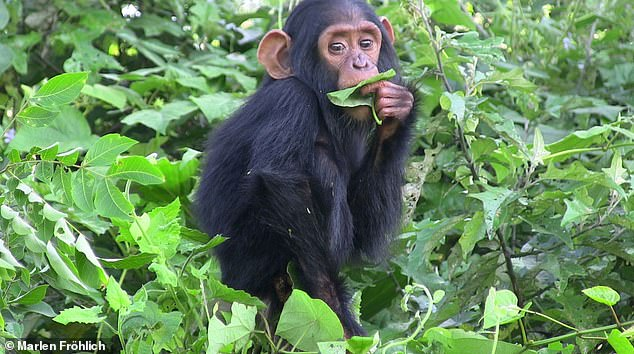 Dexterity comes at a cost: In species with large brains like chimpanzees (pictured), it takes a long time for infants to learn even the simplest hand and finger movements. This is not just because they are learning more complex skills in comparison to smaller brained species but mainly because they begin learning these skills much later
