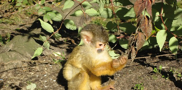 It takes human children generally around five to six years to learn complex hand movements such as eating with fork and knife or tying one's shoelaces. By that age, many other nonhuman primate species such as squirrel monkeys (pictured) already have offspring of their own