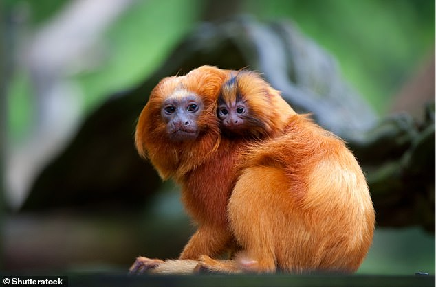 Also in the early skill competence bracket was the golden lion tamarin (leontopithecus rosalia) known for its long bright reddish orange fur, pictured here with its adorable offspring