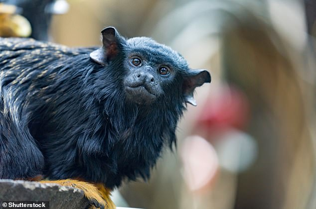 Red-handed tamarin (Saguinus midas), also known as the golden-handed tamarin or Midas tamarin. The new world monkey is named for the contrasting reddish-orange hair on its feet and hands