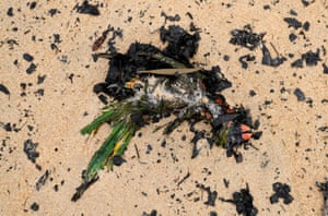A dead native bird washed up amongst ash and fire debris on Boydtown Beach, Eden.