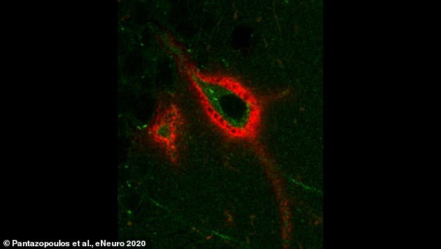 A perineuronal net, or PNN (shown in red) in the mouse brain, surrounding a neuron expressing Arc (green) - a protein involved in memory processing. The holes in the PNN may represent sites of memory storage that are regulated during sleep