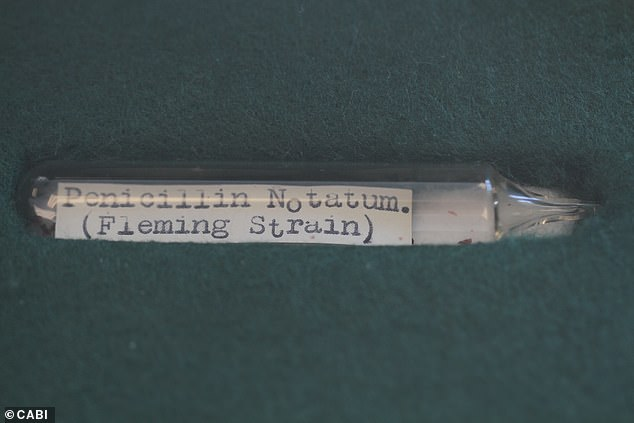 They found that the wild UK strain used a slightly different method to produce penicillin than the strains current used to manufacture the antibiotic industrially. Pictured, a sample of Sir Alexander Fleming's original strain of Penicillium, which was preserved frozen in a glass tube