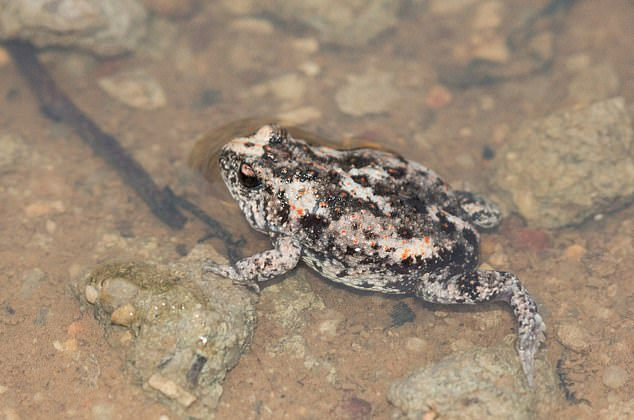 A Crawling Toadlet resting in water. The back has a warty appearance and is mottled with browns and greys