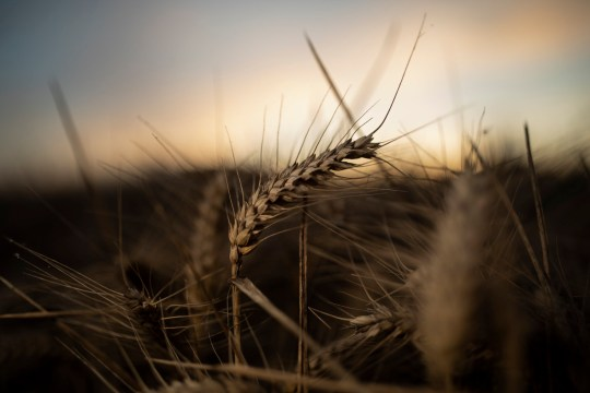 CANTERBURY, ENGLAND - JULY 29: Wheat is harvested in fields for Street End Farms on July 29, 2020 in Canterbury, England. British wheat growers were expecting to cut the smallest wheat area in 40 years due to a wet winter and drought conditions in the springtime. As Brexit uncertainty looms, many farmers in the South East of the country, who???s business models rely heavily on trade with markets in Europe due to the to their proximity and ease of access via the Channel Tunnel, are hoping for a favorable deal. (Photo by Dan Kitwood/Getty Images)