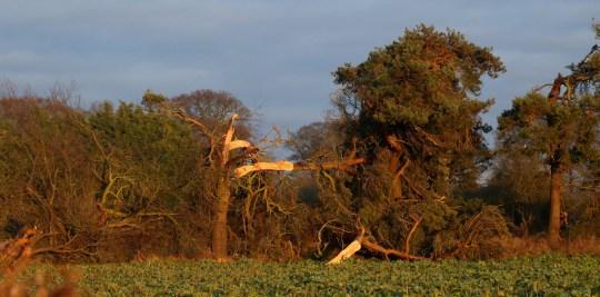 Broken trees in Shropshire caused by torando damage