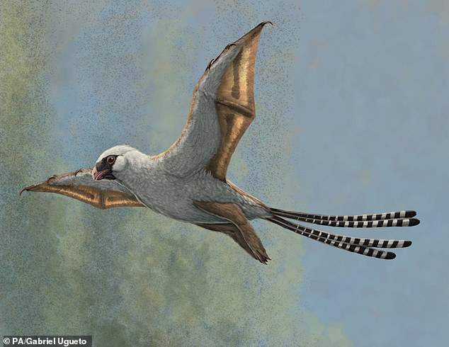 Illustration shows a reconstruction of Ambopteryx in a glide.It's one of two tiny dinosaurs that lived about 160 million years ago that struggled to fly despite having bat-like wings