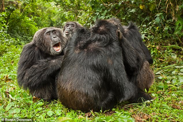 A group of male chimps groom together. Kakama, on the left, is the dominant male in the group