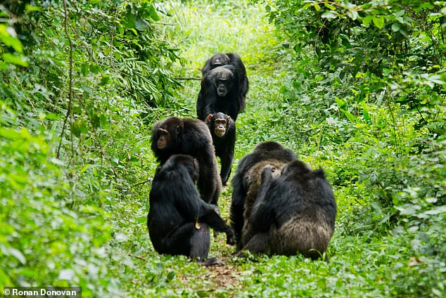 A party of male chimpanzees seen here approaching another party that is grooming together