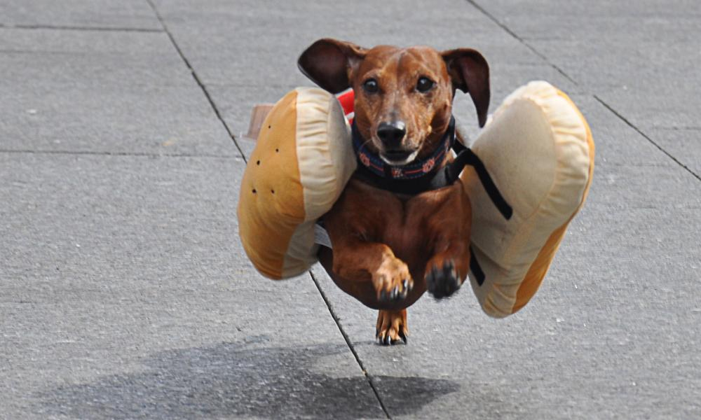 A Dachshund dog, dressed as a hotdog.