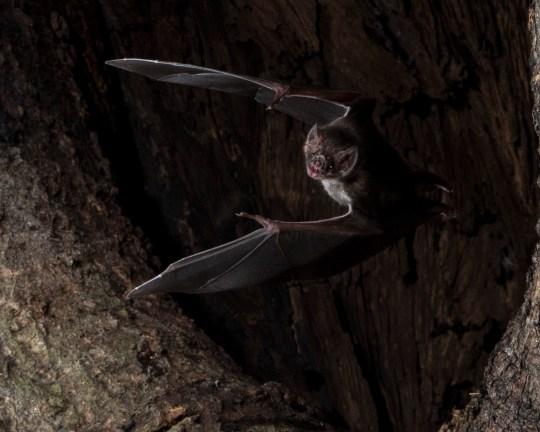Vampire bat in a tree