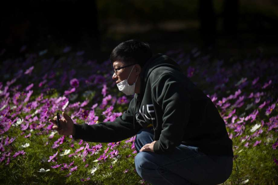 A man wearing a face mask to protect against the coronavirus takes a photo of blooming flowers at a public park in Beijing, Saturday, Oct. 24, 2020. With the outbreak of COVID-19 largely under control within China's borders, the routines of normal daily life have begun to return for its citizens. Photo: Mark Schiefelbein, AP / Copyright 2020 The Associated Press. All rights reserved.