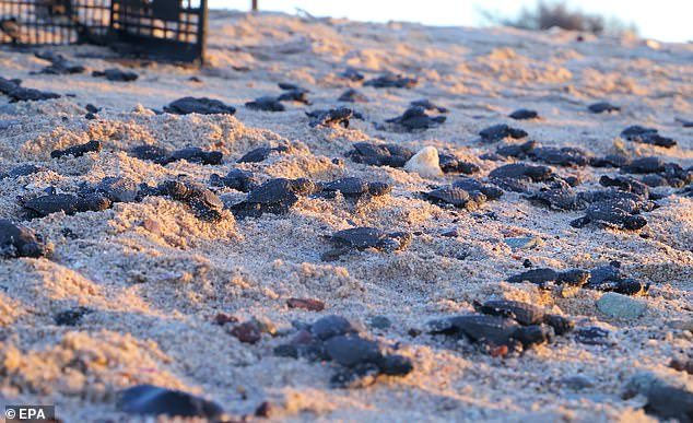 Olive Ridley sea turtle hatchlings head to the  Sea of Cortez in Sonora, Mexico, on October 27, 2020. Typically less than 1,000 hatch and make the journey successfully but because of a reduced human presence due to COVID-19, more than twice that many were released into the water