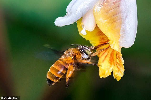 The creation of the map is an important first step in assessing the distribution and potential declines of bee populations, the team said. Pictured, a bee of theAmegilla insularis