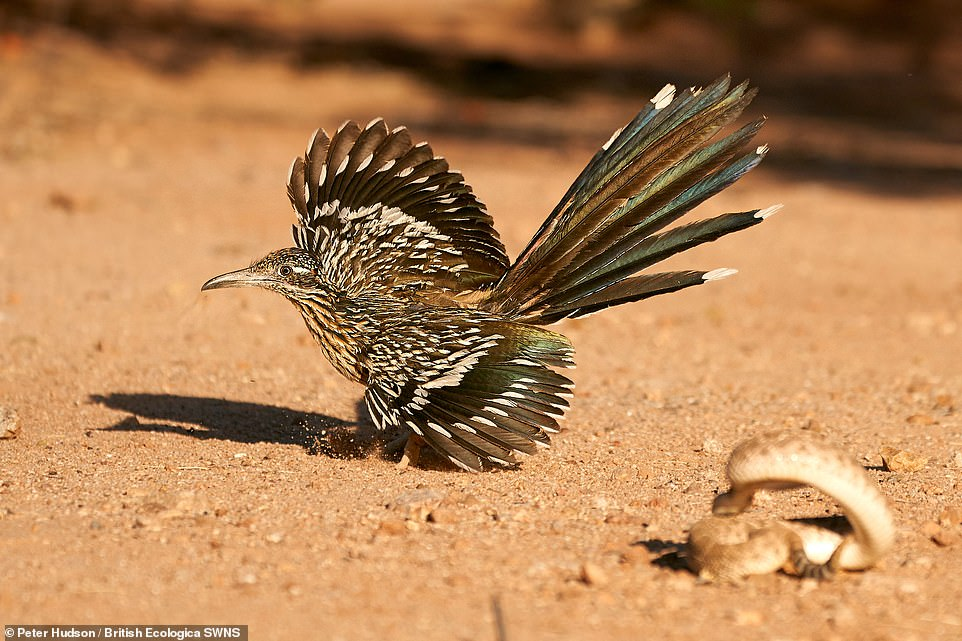 Dances with Rattlers - Peter Hudson. A roadrunner dances around a western diamond back rattlesnake, keeping its wings out and feathers exposed with its body hidden, so minimizing death if the snake were to strike. Winner Dynamic Ecosystems