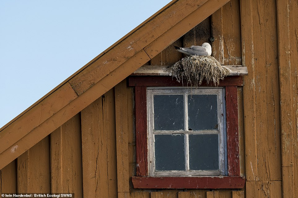 Housing for the threatened -Alwin Hardenbol.In Varanger, Black-legged Kittiwakes (Rissa tridactyla) often like to nest on decrepit buildings. It's a quite fascinating behaviour for this internationally vulnerable bird species. Winner People and Nature
