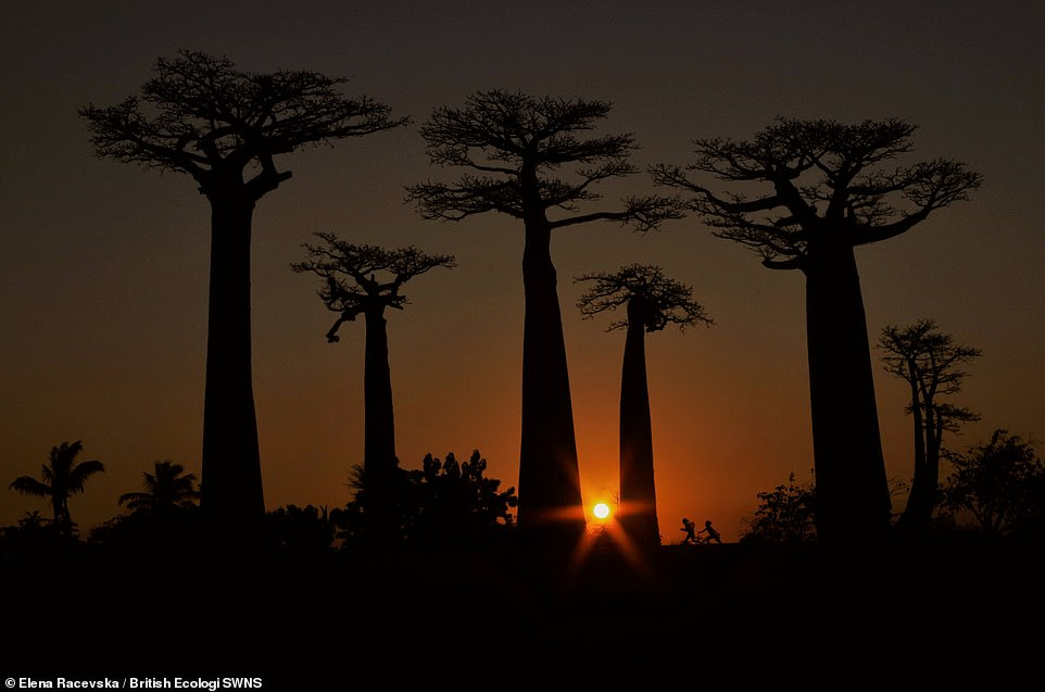 This is our playground - Elena Racevska.As the day turned to night, mesmerised tourists gathered to witness the baobabs' grandeur amidst a deep-coloured sunset. The trees stood silent and tall, as they have for centuries. Suddenly, as if out of nowhere, two children appeared. Tumbling through this theatre of shadow and fading light. Claiming their playground. Student winner People and Nature