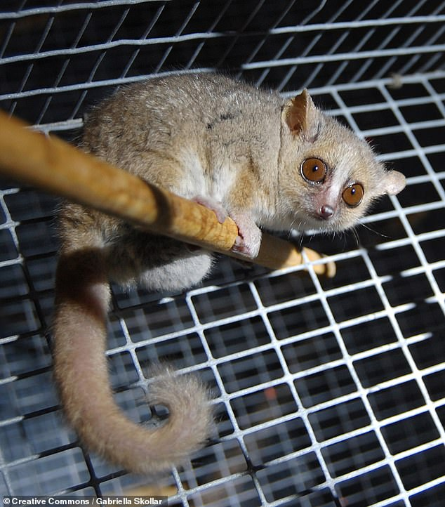 Researchers from Switzerland said that, despite their diminutive size, the endangered grey mouse lemur's visual system is just as big as that of other primates