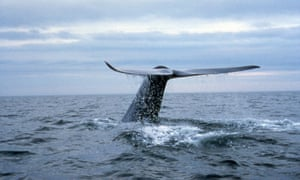 Blue Whale<br>A blue whale lifts its tail in the air designating a longer and deeper dive.