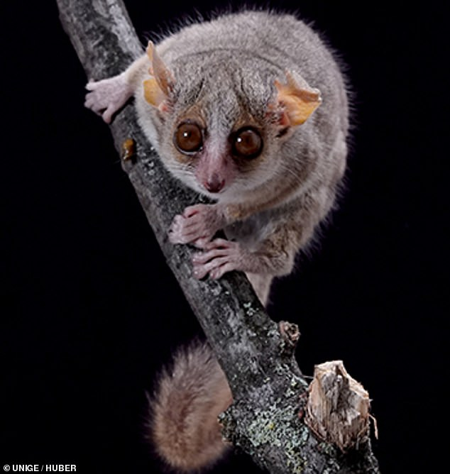 The evolution of human vision can be traced back to the very first primates that evolved 55 million years ago, a study of a tiny mammal from Madagascar, pictured, found