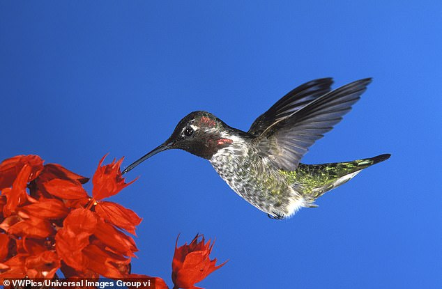 Some 48 million landbirds, including nearly 40 percent of all Anna's Hummingbirds, use California's Central Valley as a stopover when migrating south in the fall, according to a new report from the Audubon Society