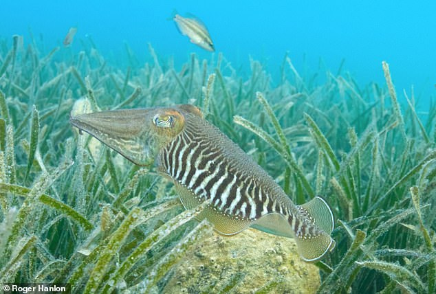 The common cuttlefish has been recorded along the south coast and west coast of England and Wales and around the Channel Islands and the Isle of Man