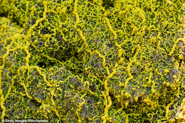 New research suggests P. polycephalum, a bright yellow slime mold with no brain or nervous system, 'remembers' records where a food source is by restructuring the shape of its tubular tendrils. It maintains that new architecture long after its finished its meal