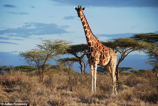 Reticulated giraffe is in Samburu NP, Kenya.Despite looking the same, genetically there are four distinct species of giraffe and seven subspecies, explained lead author Dr Axel Janke