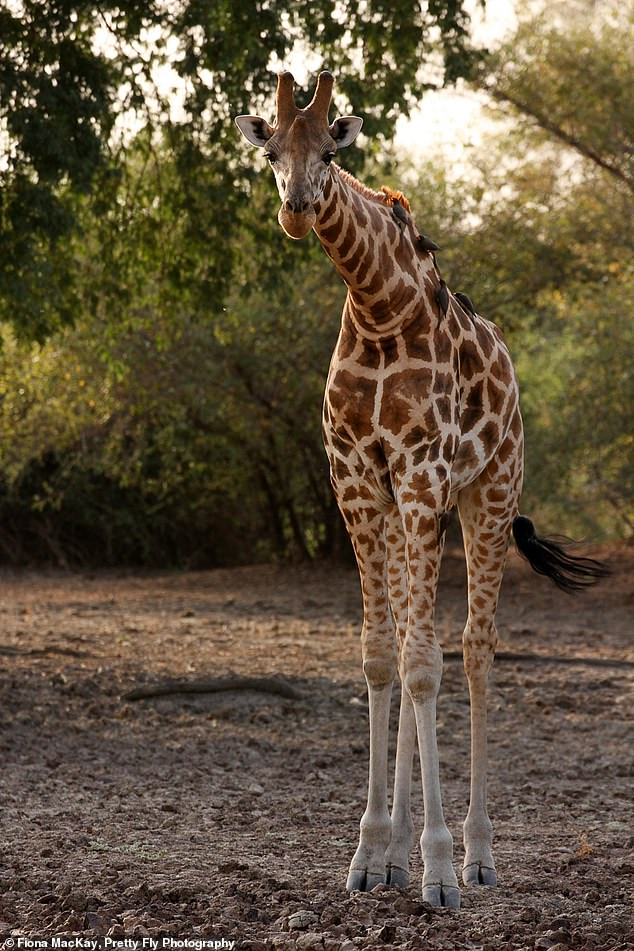 The Kordofan giraffe (pictured) is one of seven subspecies within giraffes. Researchers have now sequenced its genome for the first time