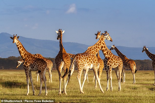 Nubian Giraffes (Giraffa camelopardalis) in Lake Nakuru National Park, Kenya.Giraffes reach up to 19ft in height, are herbivores and occur in the savannahs of Sub-Saharan Africa from Niger through Kenya and Namibia to South Africa