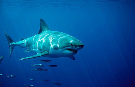 (GERMANY OUT) Great White Shark, Carcharodon carcharias, South Africa, Dyer Island, Gansbaai, Atlantic Ocean (Photo by Reinhard Dirscherl/ullstein bild via Getty Images)