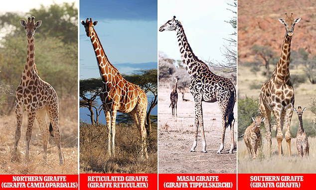 Efforts to map the genome of giraffes has confirmed that there are four distinct species, and they are as different to one another as brown bears are to polar bears