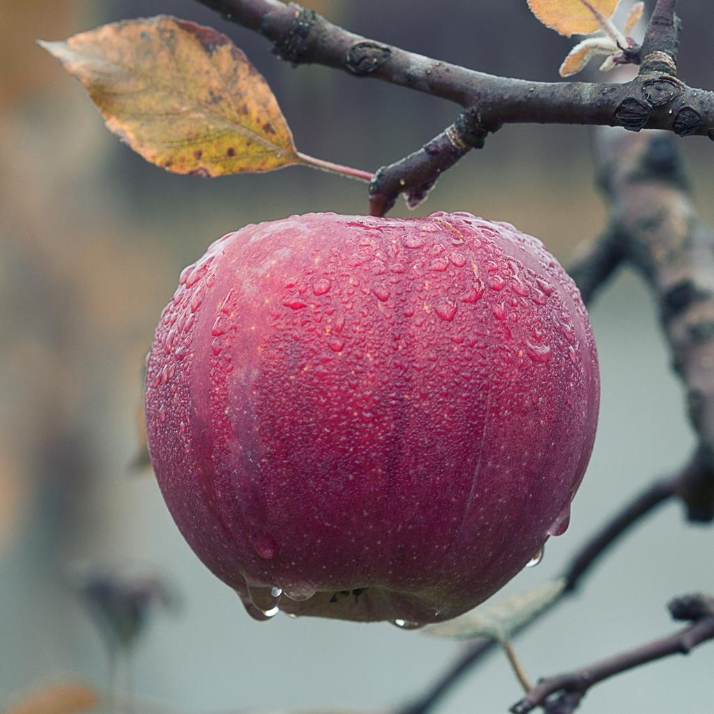 Apfel Herbst Regen Baum - Woolnerd