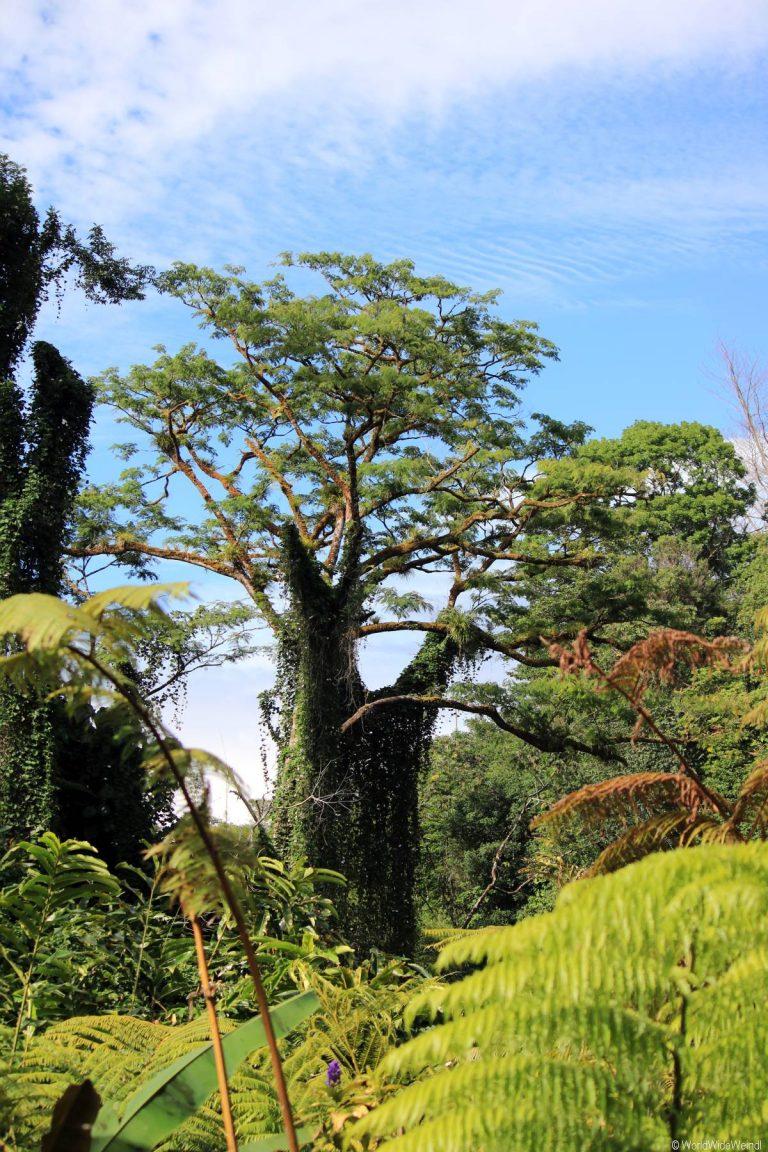 Big Island 193- Akaka Falls State Park