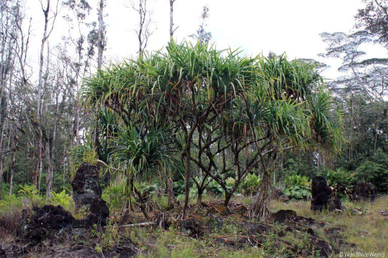 Big Island 210- Lava Tree State Park