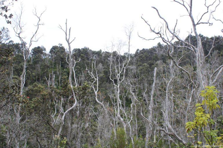 Big Island 255- Volcanos Nationalpark Devestation Trail