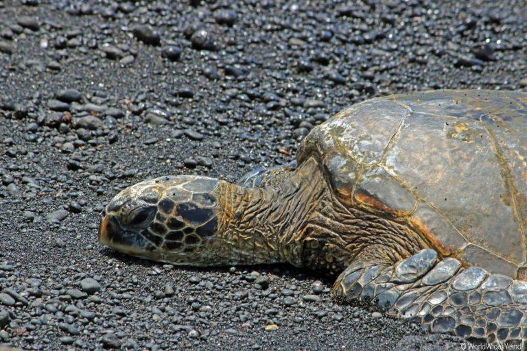Big Island 565-Punalu'U Black Sand Beach