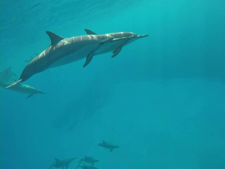 Big Island 618a- Kona Dolphin Encounters